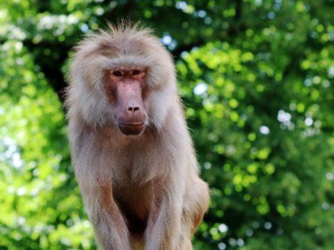Интересные факты о бабуинах