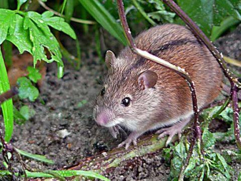 7 фактов о мышовке