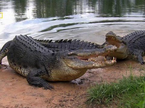 7 фактов о нильском крокодиле