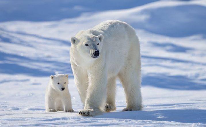7 фактов о белых медведях