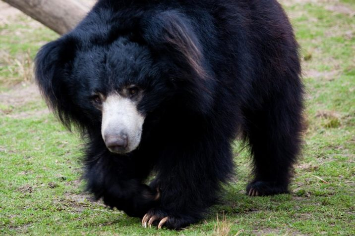 7фактов о медведе-губаче