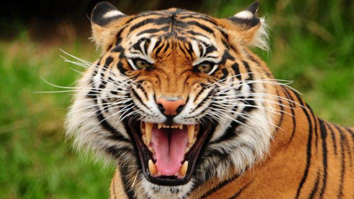7 фактов о тиграх