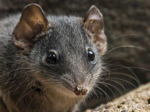 7фактов про сумчатую мышь