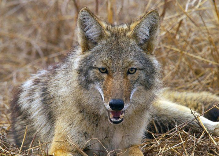 7фактов о койотах