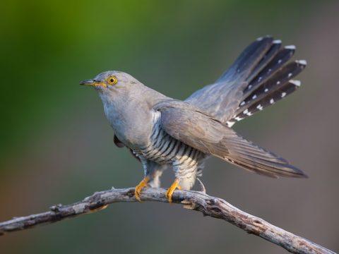 7 фактов: фото птицы кукушки
