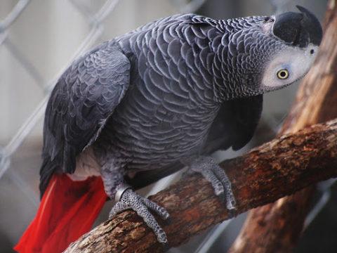 Жако: 7 фактов о попугаях