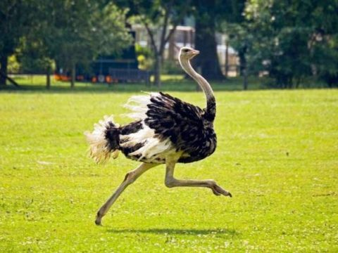7 фактов о страусах фото