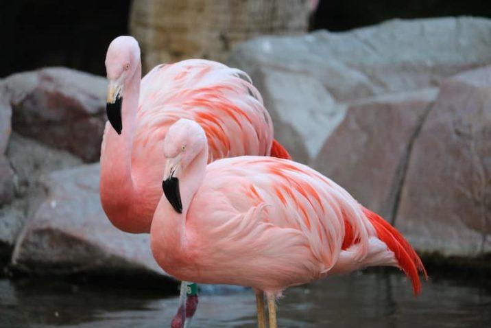 7 фактов: фото розового фламинго