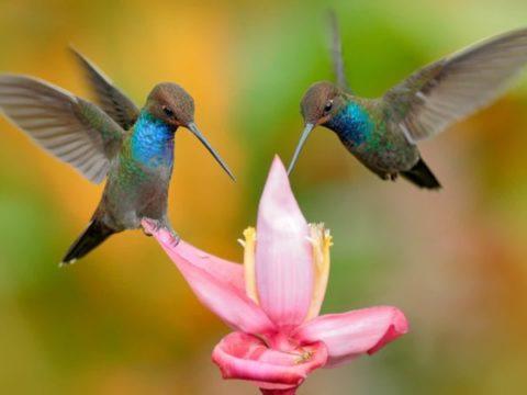 7 фактов про колибри