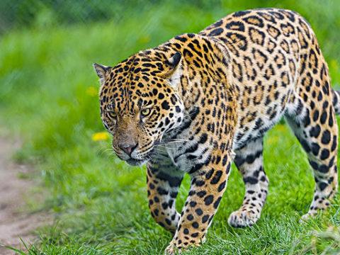 7 фактов о ягуаре
