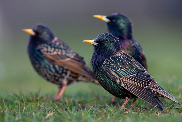7 фактов и фото птицы скворец