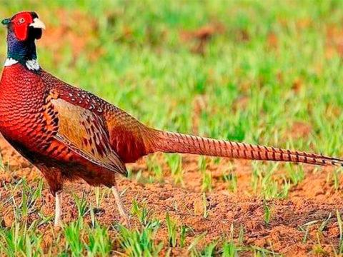 7фактов о фазане