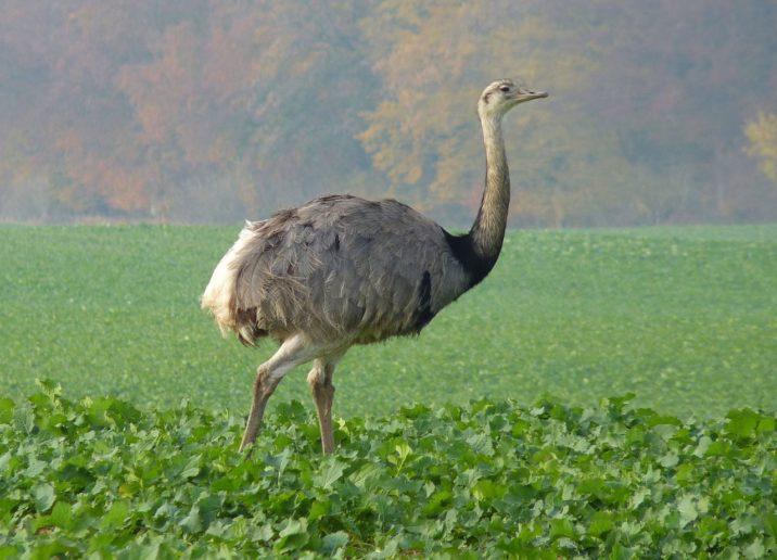 7 фактов о страусах нанду
