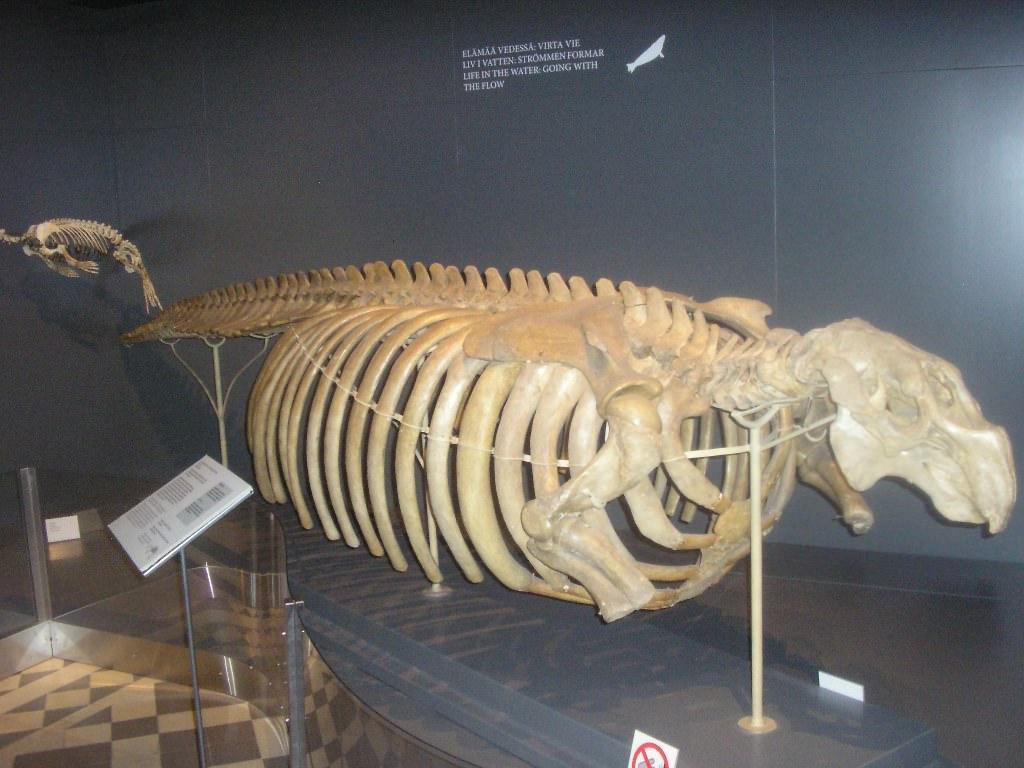 Скелет стеллеровой коровы в музее