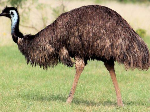 7Фактов про страусов эму