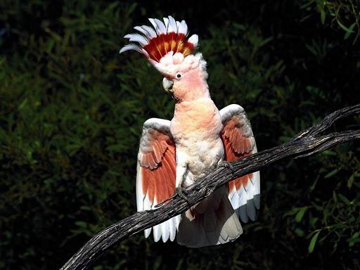7Фактов о попугаях какадду