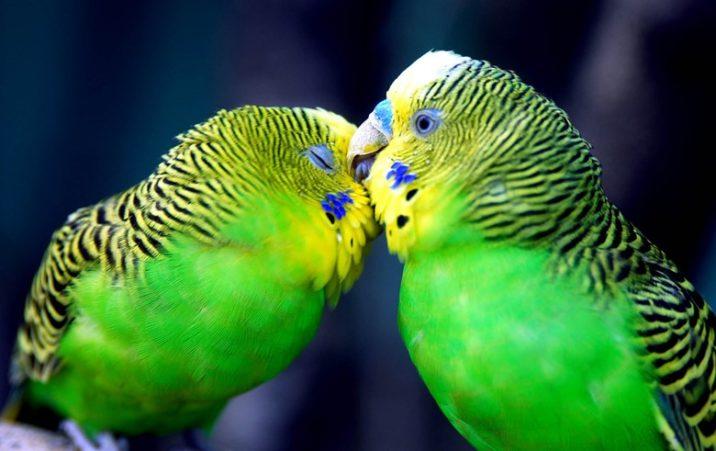 7Фактов о волнистых попугаях