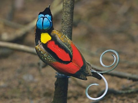 7фактов про райскую птицу