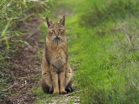 7Фактов про камышового кота