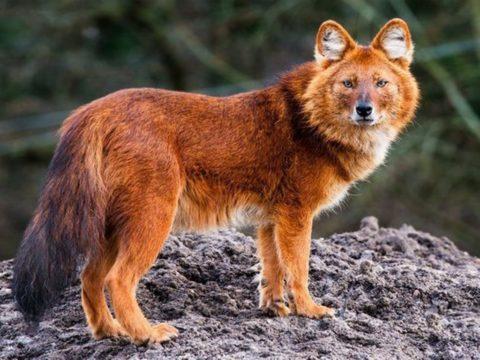 7Фактов про красного волка