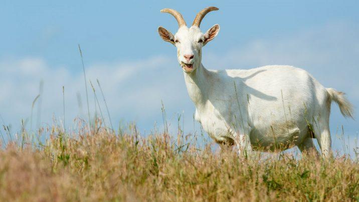 7Фактов про козу
