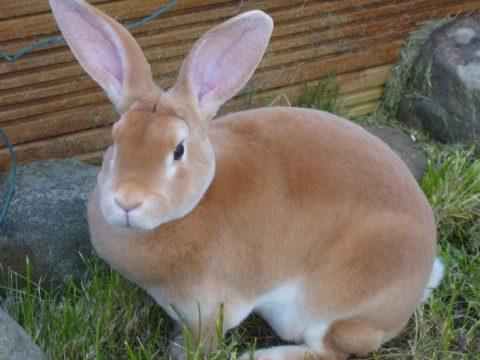 7Фактов о кроликах рекс