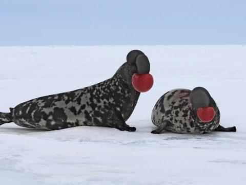 7фактов о тюленях-хохлачах