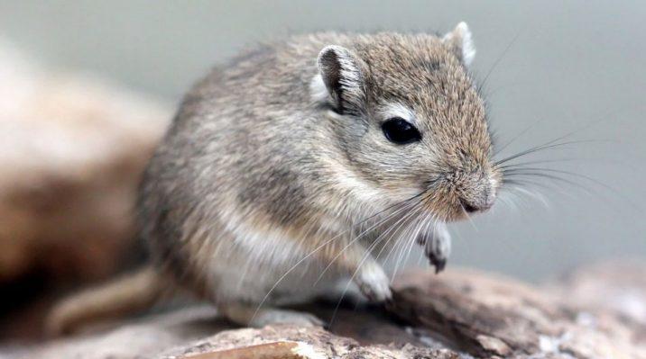 7Фактов о мышах-песчанках