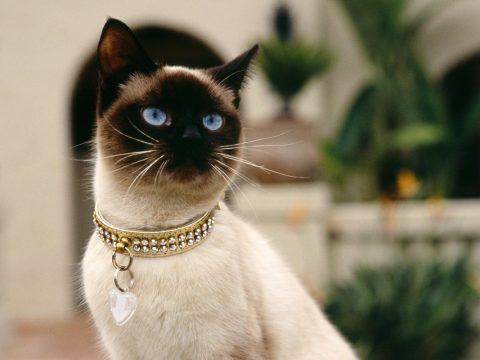 7фактов о сиамских кошках