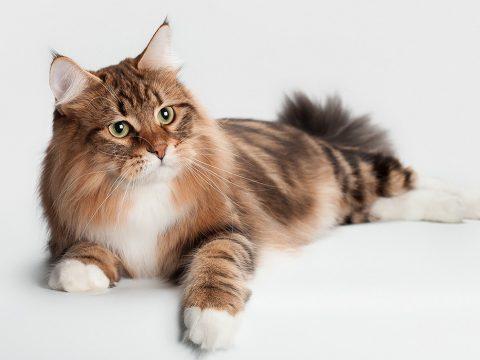 7Фактов о сибирских кошках